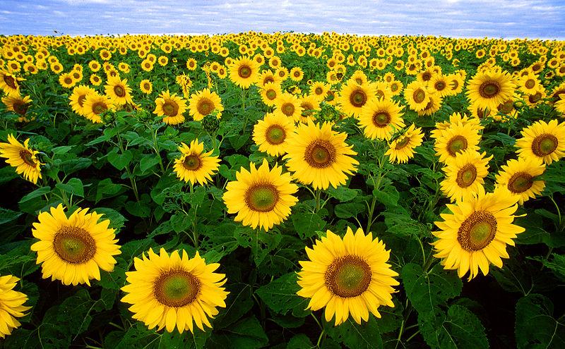 Care sunflowers