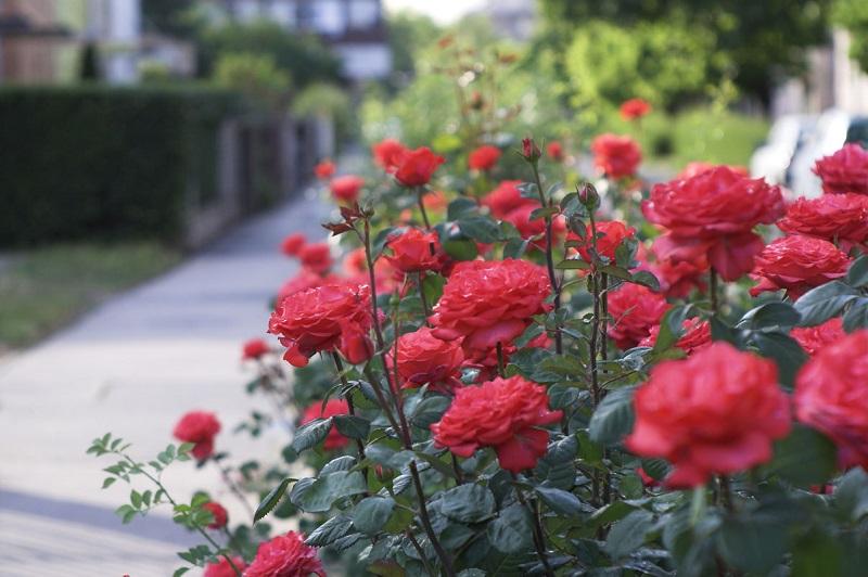 plant roses