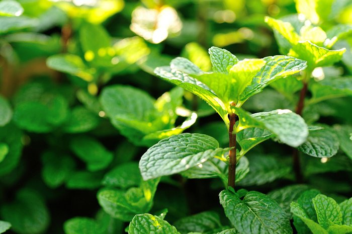 Aromatic flower plant