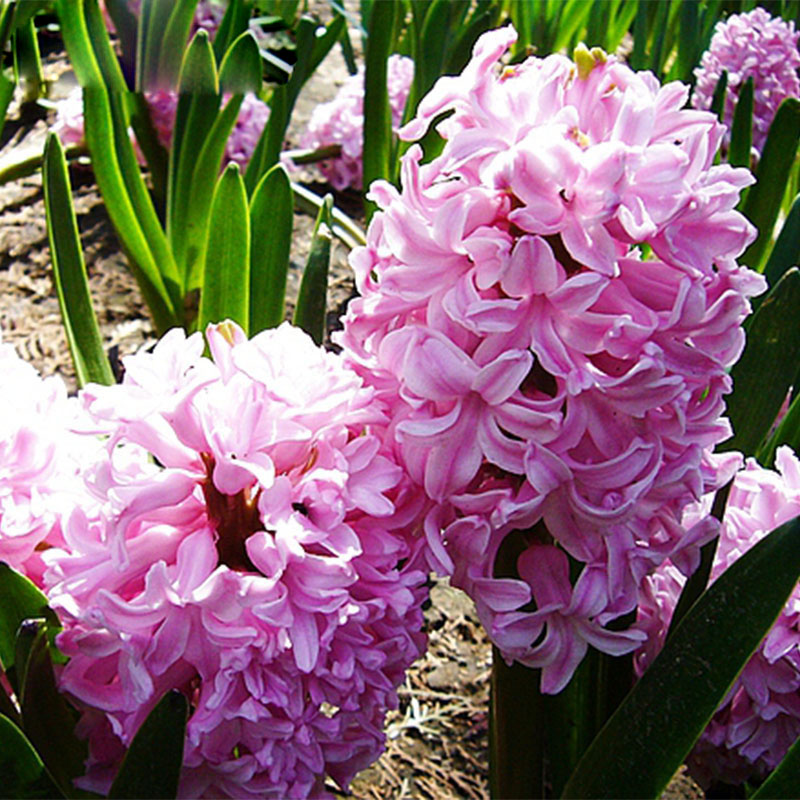 hyacinth-ornamental-plant-for-gardens-and-balconies