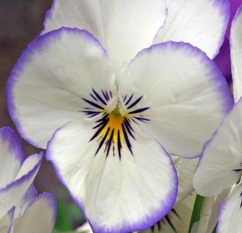 viola-tricolor-or-pansy-a-flower-that-is-resistant-to-cold