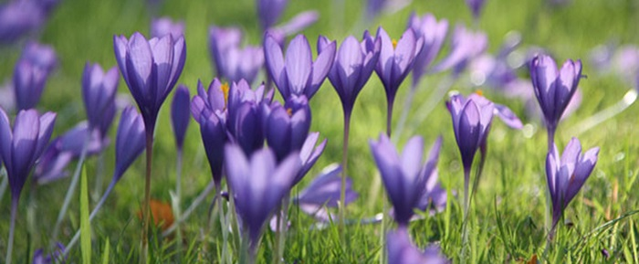 plant-bulbs-crocus