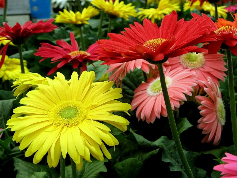 how to grow daisies in pots