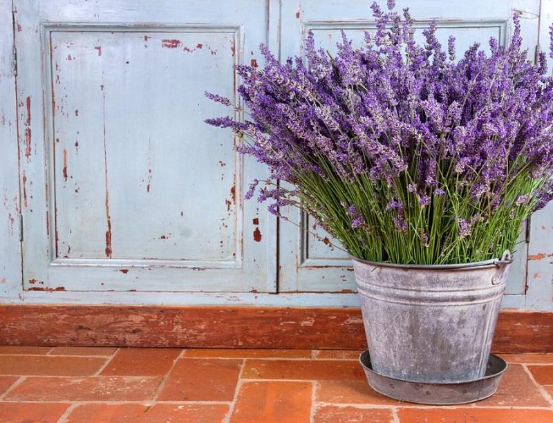 grow lavender in pots
