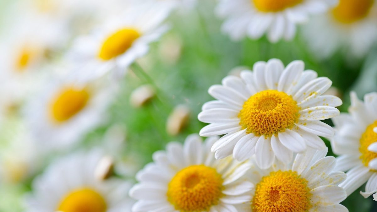 Chamomile Garden: How to Choose and Grow In the Garden