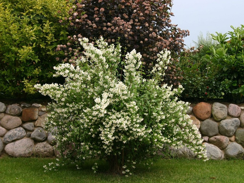 Jasmine: Planting, Care And Reproduction At Home