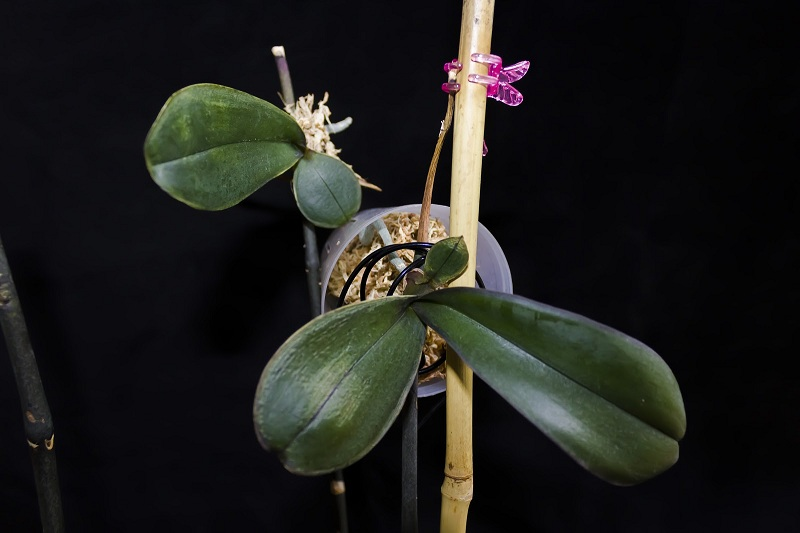 How To Propagate The Orchid?