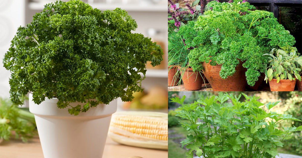 care of parsley