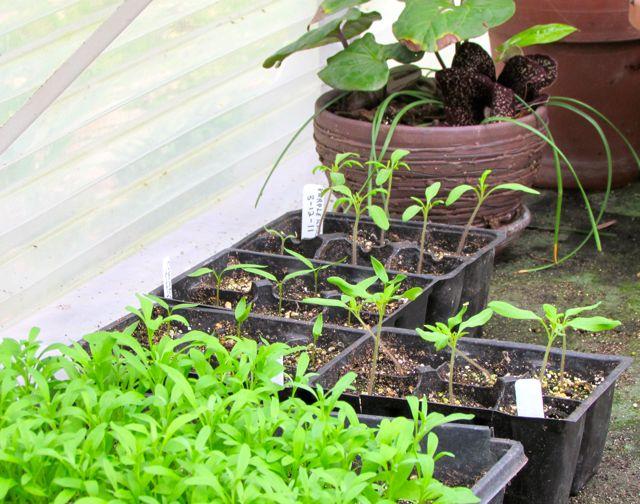 how to grow alyssum