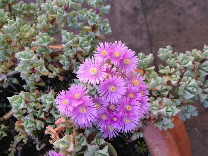lampranthus plant care