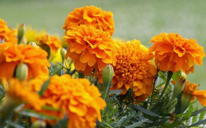 Marigold care
